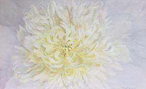 white peony painting